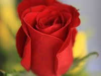 17731-a-red-rose-pv